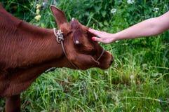 Junger Stier lizenzfreies stockbild
