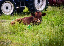 Junger Stier stockfotos