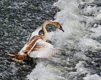 Junger stummer Schwan auf Fluss-Wehr (Cygnus Olor) Lizenzfreie Stockbilder