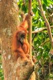 Junger Sumatran-Orang-Utan, der auf Bäumen in Gunung Leuser Natio sitzt Lizenzfreie Stockfotografie