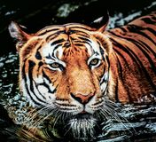 Junger sumatran Tiger Lizenzfreies Stockfoto