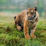 Junger Sumatran Tiger, der auf grasartiger Querneigung sitzt lizenzfreies stockfoto
