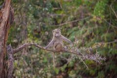 Junger tansanischer Pavian auf Niederlassung Lizenzfreies Stockbild