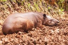 Junger Tapir stockbild