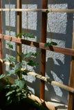 Junger Thunbergia im Frühjahr Kletterpflanze auf Gitter nahe der Wand stockfotografie
