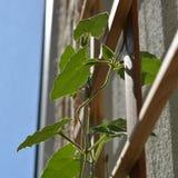 Junger Thunbergiabetriebsaufstieg zum Gitter Grünblätter werden durch die Sonne belichtet lizenzfreies stockfoto
