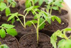 Junger Tomatensämling auf Plantage Lizenzfreie Stockfotografie