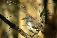 Junger verspottender Vogel Stockfotografie