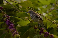Junger verspottender Vogel Stockfoto