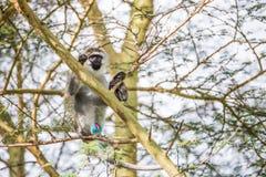 Junger vervet Affe auf einem Baum, der seine bunten Genitalien im Nationalpark Nakuru (Kenia, zeigt) Lizenzfreie Stockfotografie