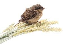 Junger Vogel auf Weizen Stockbild
