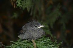 Junger Vogel des netten schwarzen Rotschwänzchens sitzt von der Seite auf Niederlassung in einer Hecke lizenzfreie stockfotografie