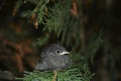 Junger Vogel des schwarzen Rotschwänzchens sitzt auf Niederlassung in einer Hecke stockbild