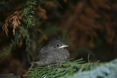 Junger Vogel des schwarzen Rotschwänzchens sitzt auf Niederlassung in einer Hecke lizenzfreies stockbild