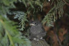 Junger Vogel des schwarzen Rotschwänzchens sitzt auf Niederlassung in einer Hecke stockfoto
