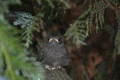 Junger Vogel des schwarzen Rotschwänzchens sitzt von der Front auf Niederlassung in einer Hecke stockfotografie