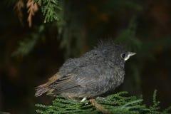 Junger Vogel des schwarzen Rotschwänzchens sitzt von der Seite auf Niederlassung in einer Hecke stockfotos