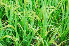 Junger wachsender Reis Stockbild