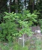 Junger Walnuss-Baum stockbild