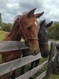 Junger Warmblood-Pferdeblick über Zaun Lizenzfreie Stockfotos