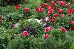 Junger weiß-brauner Hund liegt auf Rest in den roten Dahlien Stockfoto