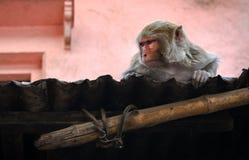 Junger weiblicher asiatischer Affe, der auf dem Dach sitzt Stockbild