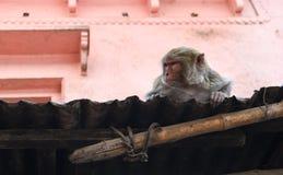 Junger weiblicher asiatischer Affe, der auf dem Dach sitzt Stockfotografie