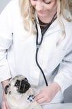 Junger weiblicher blonder Tierarzt mit einem Pug Stockfotos