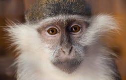 Junger weiblicher grüner Affe, der ernsthaft direkt dem Zuschauer betrachtet Der Kampf für Tierrechte Stockfoto