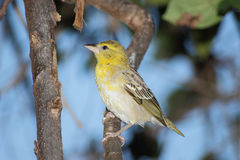 Junger weiblicher hauptsächlicher Vogel Lizenzfreie Stockfotos