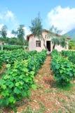 Junger Weinberg mit Olivenbäumen Lizenzfreies Stockfoto