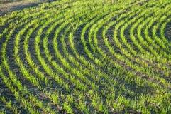 Junger Weizen auf dem Gebiet Stockbild