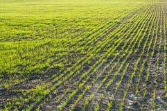 Junger Weizen auf dem Gebiet Stockbilder
