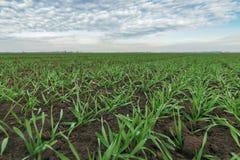 Junger Weizen auf dem Gebiet Junge Weizensämlinge, die auf einem Gebiet wachsen Stockbilder