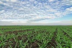Junger Weizen auf dem Gebiet Junge Weizensämlinge, die auf einem Gebiet wachsen Stockbild