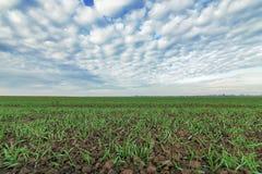 Junger Weizen auf dem Gebiet Junge Weizensämlinge, die auf einem Gebiet wachsen Lizenzfreies Stockfoto