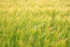 Junger Weizen im Frühsommer Lizenzfreie Stockfotos
