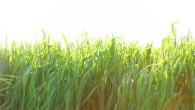Junger Weizen und sehr heller Sonnenschein stock footage