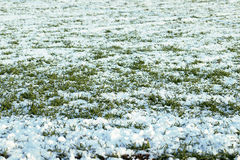 Junger Weizen unter Schnee Stockfotografie