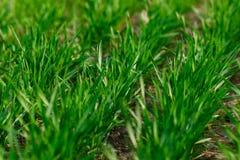 Junger Weizenanbau in den ordentlichen Reihen des Feldes Stockfotos