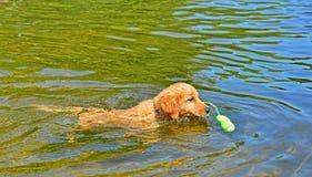 Junger Welpe, der sein Spielzeug zurückholt, wie er ihm im Wasser sich nähert Lizenzfreie Stockfotos