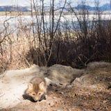 Junger Welpe des roten Fuchses erforscht äußere Höhle Stockfoto