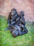 Junger Westtieflandgorilla - Gorillagorillagorilla - Mutter Stockfoto