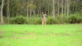 Junger Whitetail-Dollar stock video footage