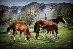 Junger wilder Colt pflegt, während nahe gelegene Stute auf den Frühlingsgräsern weiden lässt Stockfoto