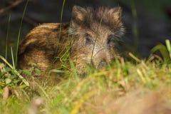 Junger wilder Eber, der im Gras sich versteckt Lizenzfreie Stockfotos