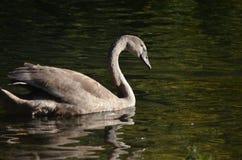 Junger wilder grauer Schwan Cygnet von der Seite im Sonnenschein im Wasser, Vogelphotographie in der Natur lizenzfreie stockfotos