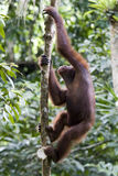 Junger wilder Orang-Utan, Borneo Lizenzfreies Stockfoto