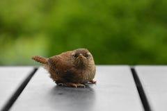 Junger Zaunkönig auf grauem Gartentisch lizenzfreie stockfotografie