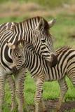 Junger Zebra mit Mama Stockbilder
